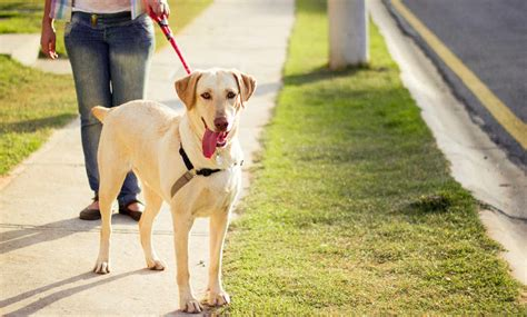 how to my labrador how to stop your labrador pulling on the lead