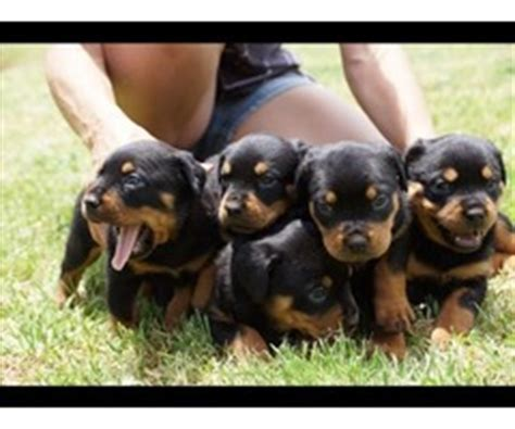 top 100 rottweiler names beautiful shiba inu puppies ready now animals tallahassee florida announcement