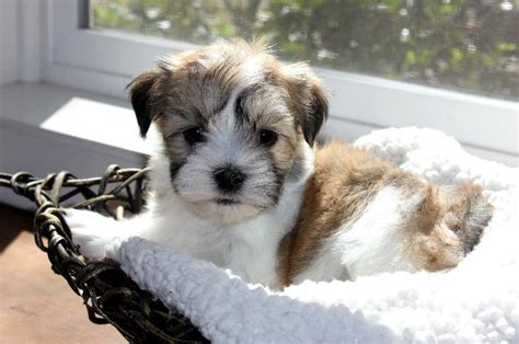 cornerstone kennels havanese puppy mill our nursery of coton de tulear havanese puppies available by cornerstone