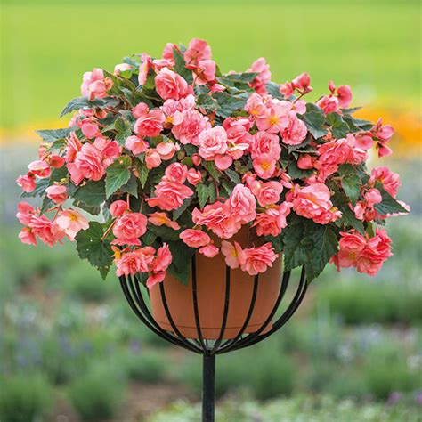 Begonia Sweet Spice Plant Collection from Mr Fothergill's