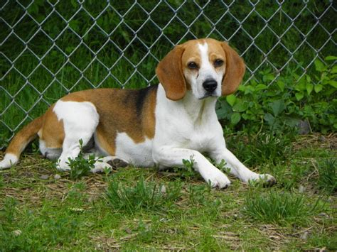 beagle puppies for sale in nj new jersey beagles new jersey beagle breeder pets world