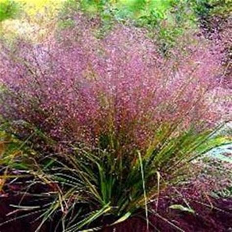 love grass seeds eragrostis spectabilis ornamental grass