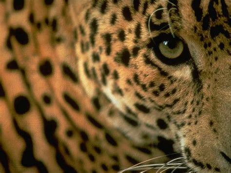 imágenes jaguar negro leopardos y jaguares taringa