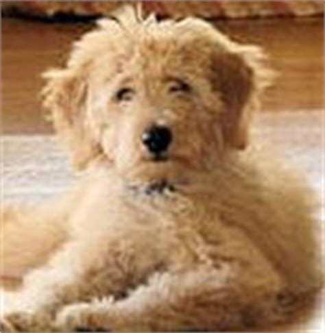 goldendoodle puppies for sale in alabama goldendoodle puppies for sale goldendoodle breeders