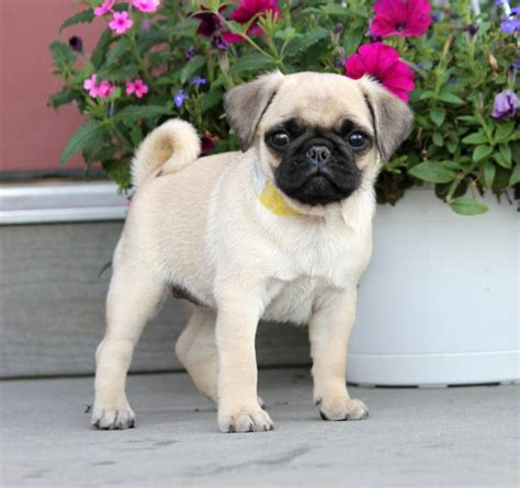 pugs for sale oregon pug puppies for sale oregon pug breeders breeds picture