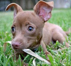 pitbull chihuahua mix puppies for sale 17 best ideas about pitbull chihuahua mix on pitbull mix breeds boxer mix