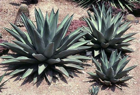 san marcos growers gt agave sharkskin