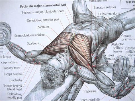 chest diagram muscles diagram of anterior human diagram free engine