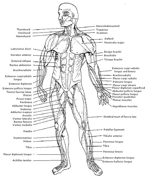 anatomy and physiology coloring book the muscular system answers mobile site physiology identification of muscles on the