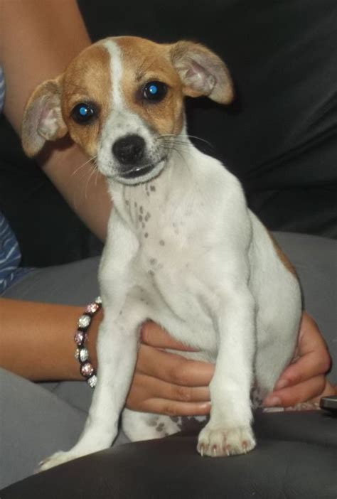 Do Yorkie Chihuahua Mix Shed by Chorkie Is A Cross Between The Chihuahua And The