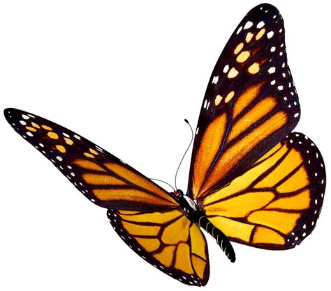 Butterfly P butterfly clipart with no background 101 clip