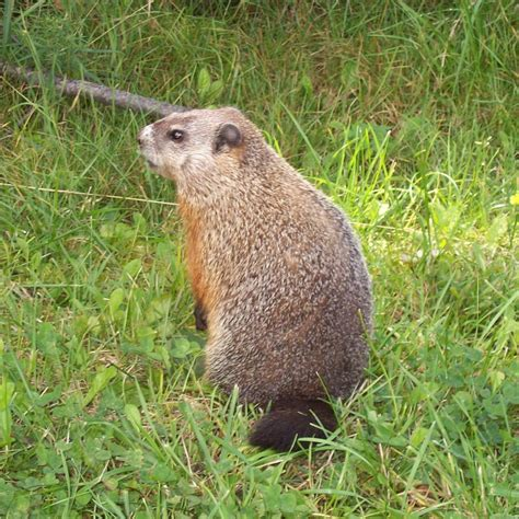 How Do You Get Rid Of Groundhogs Shed by Woodchuck Zoo Animals
