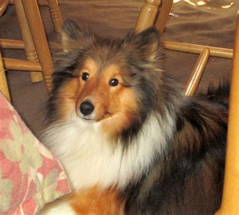 rescue illinois sheltie rescue central illinois breeds picture