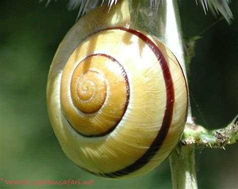 types of garden snails gardensafari snails slugs and worms with lots of pictures