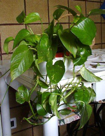photos pianta da appartamento pothos o potos o scindapsus araceae coltivazione