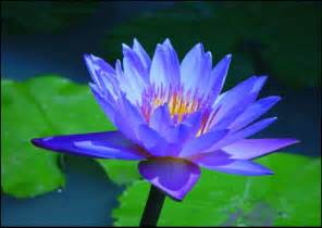Blue Lotus Flower Meaning Blue Lotus Alternatives