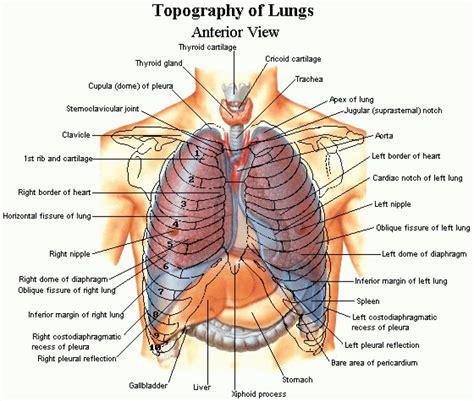 organ anatomy diagram ribs diagram human anatomy organ