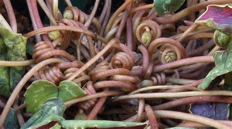 cura dei ciclamini in vaso i ciclamini piante appartamento ciclamini coltivazione