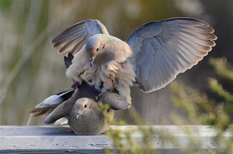 mourning doves mating thomas cantwell flickr