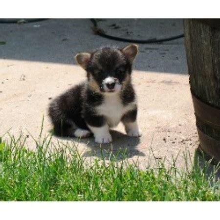 corgi puppies for sale nebraska tailwind corgis pembroke corgi breeder in imperial nebraska