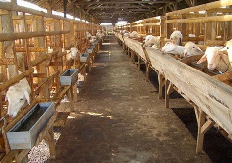 Fermentasi Pakan Ternak Kambing cara ternak kambing modern dengan pakan buatan tanpa