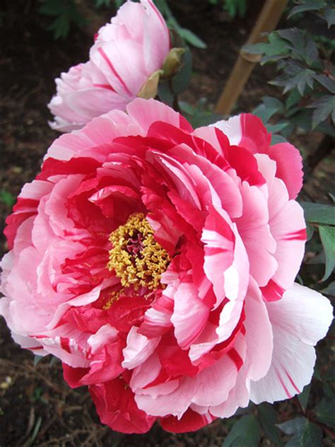 peony flowers peony flowers silk peonies peony flower pictures