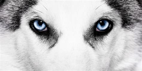 different types of eye colors siberian husky eye colors all about the different types