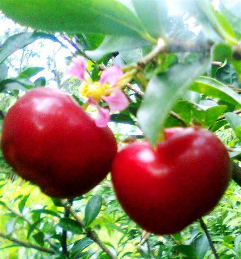 Jual Bibit Strawberry Semarang barbados cherry buah buah impian
