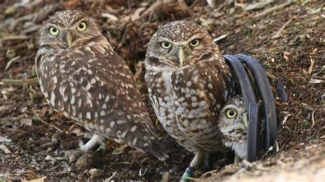 rare b c burrowing owl found injured in chilliwack