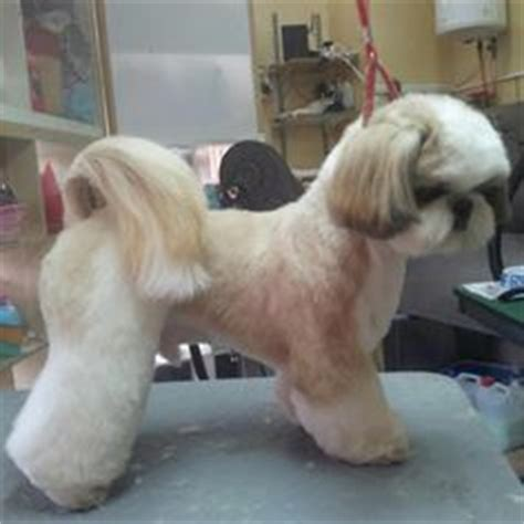 at what age does a shih tzu stop growing 1000 images about puppy do on shih tzu grooming styles and shih tzus