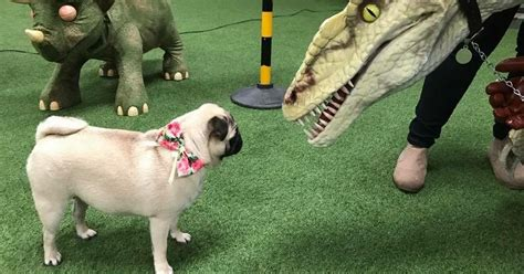 pug manchester 2017 pugfest manchester 2017 in pictures manchester evening news autos post