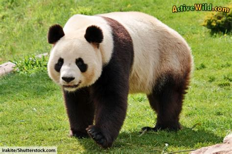 images of panda bears panda facts for adults information pictures