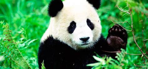 imagenes de la familia de osos oso panda informaci 243 n qu 233 come d 243 nde vive c 243 mo nace