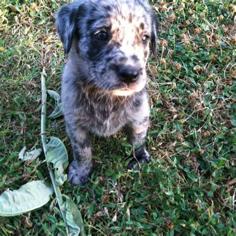 labahoula puppies labahoula puppy catahoula x lab pets and animals lab puppies labs