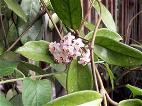 Planter Des Fougères by Fleur De Porcelaine Ou Fleur De Cire Flore De La R 195 169 Union