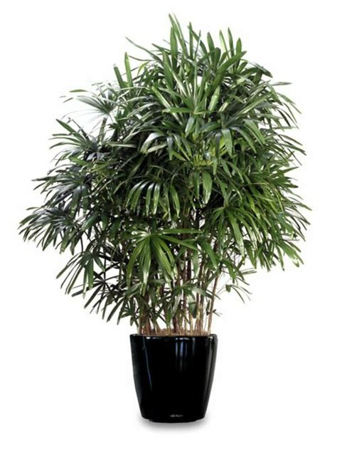 popular trees palm species houseplants rhapis excelsa is one of the
