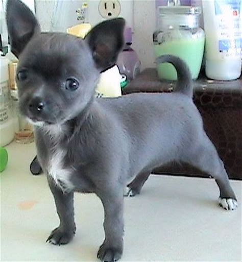 apple chihuahua puppies for sale best 25 apple chihuahua ideas on
