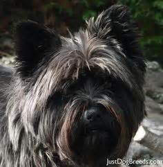 how to trim cairn face cairn terrier after grooming this is a great cut for or
