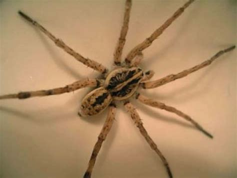 wolf spider bite what you need to do