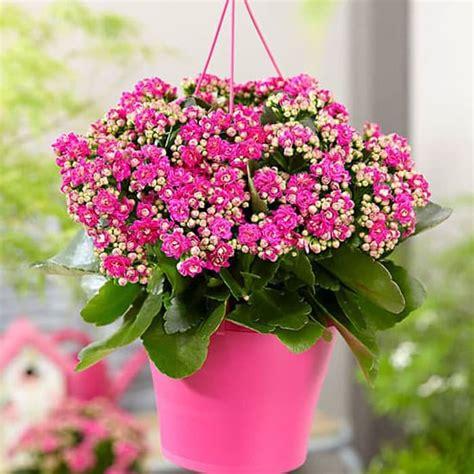 beli disini kalanchoe bunga pink termurah ibad garden
