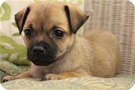 pug and chihuahua mix puppies the pug chihuahua mix aka chug fierce and fascinating gt puppy toob