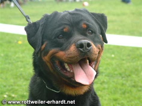 carl the rottweiler karl rottweiller pictures news information from the web