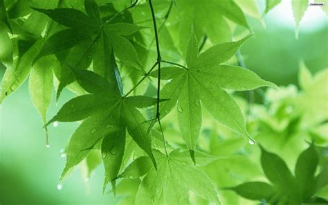wallpaper daun green leaves wallpapers wallpaper cave