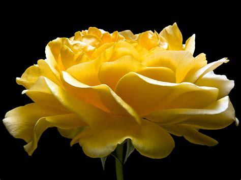 hd yellow rose flower wallpaper wallpapersbyte