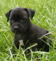 chion puppy shop blue staffy dogs