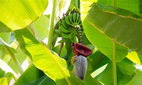 pianta di banana in vaso coltivare il banano la guida idee green
