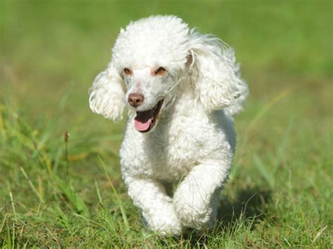 multi poodle lifespan multi poodle images frompo 1