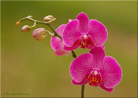 moth orchids phalaenopsis orchid crw0233 randymehovesphotography com