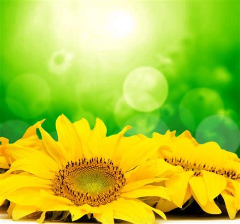 immagini fiori gialli fiori gialli con effetto bokeh scaricare foto gratis