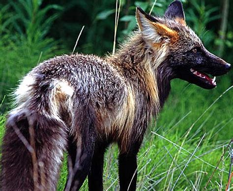 species canine fox well distributed clever canine animal pictures and facts factzoo
